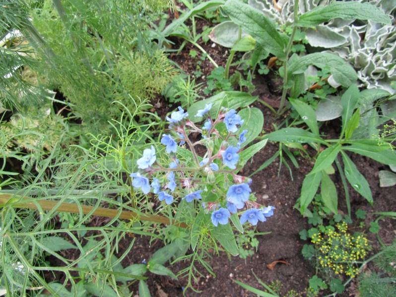 Blue Buttercups