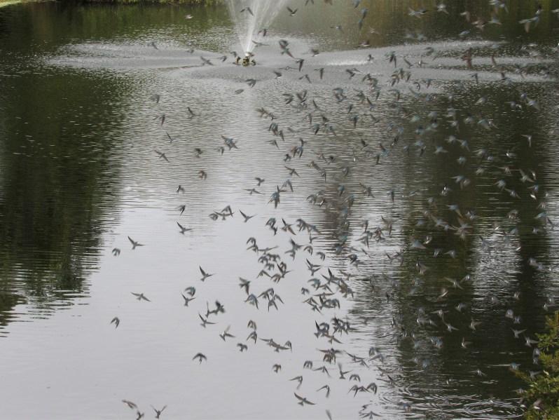 Birds swirling