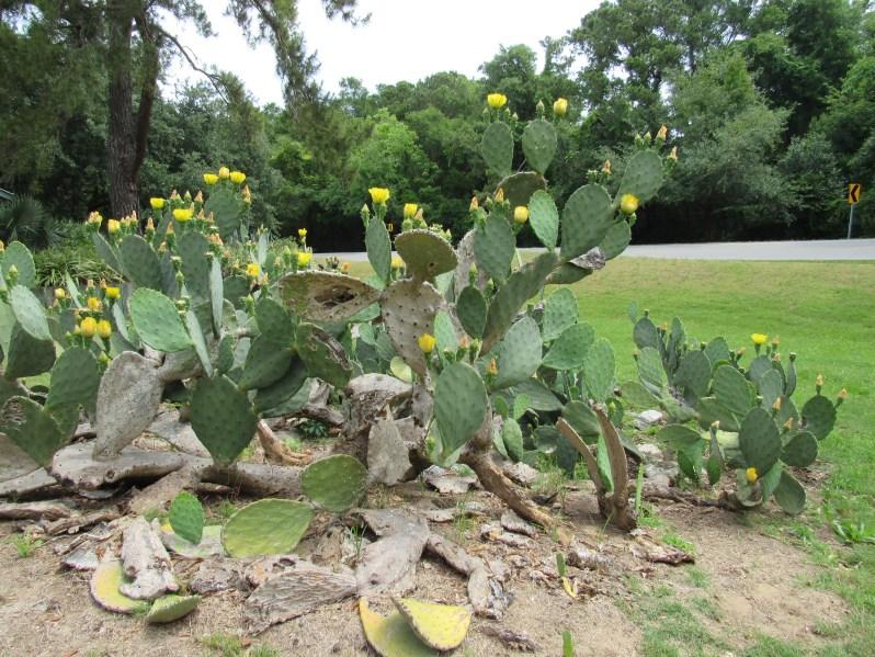 Flat green cactus