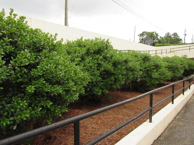 Walkway shrubs
