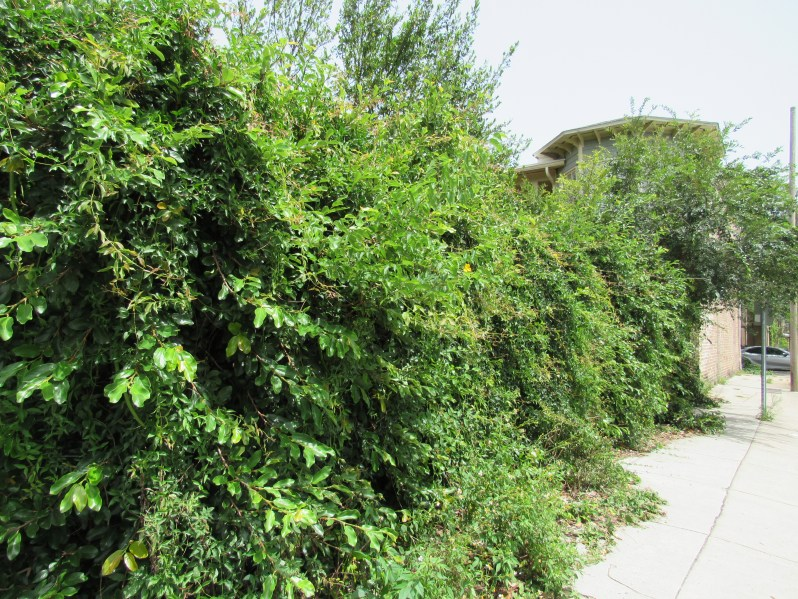 Overgrown hedge