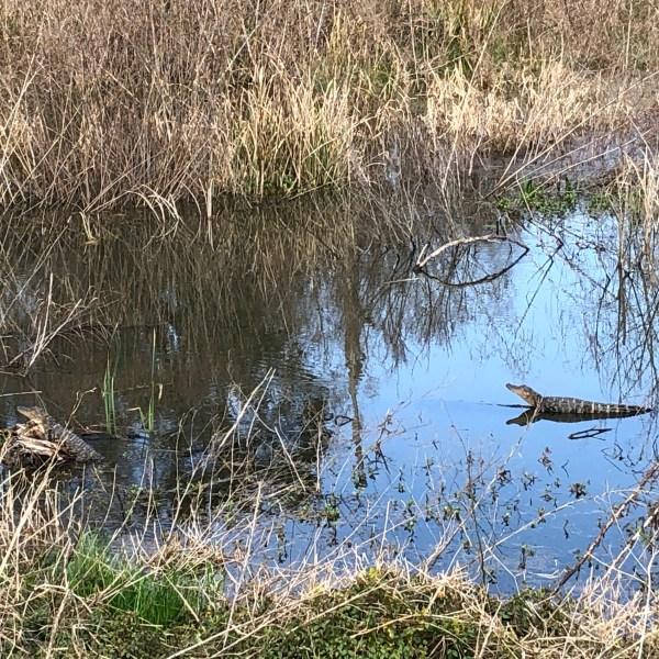 Small alligators