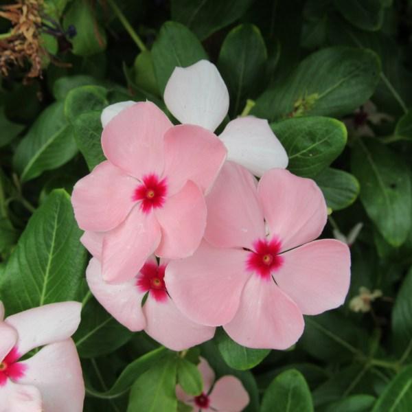 Pink Pansies