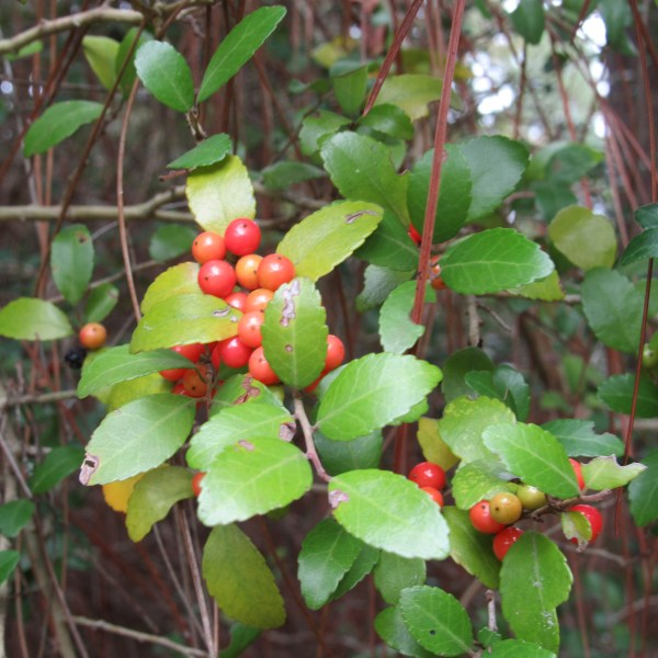 Yaupon Holly red berries
