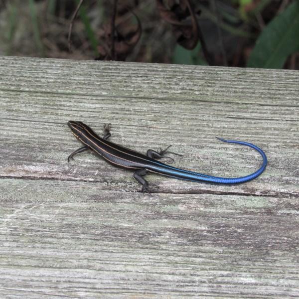 Blue tail skink
