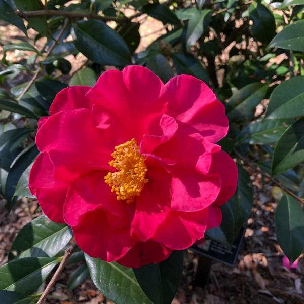 Spiring bloom Camellia