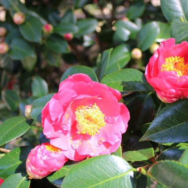 Camellia-Turandot