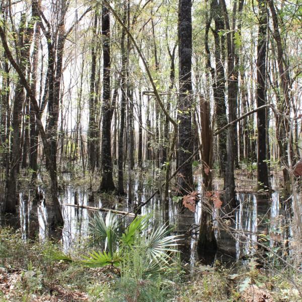 Bulltown Swamp in South Georgia