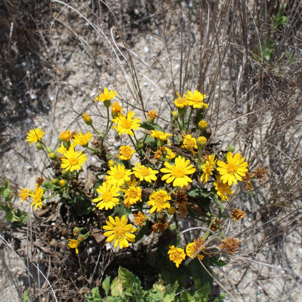 Yellow flowers on the sand dunes