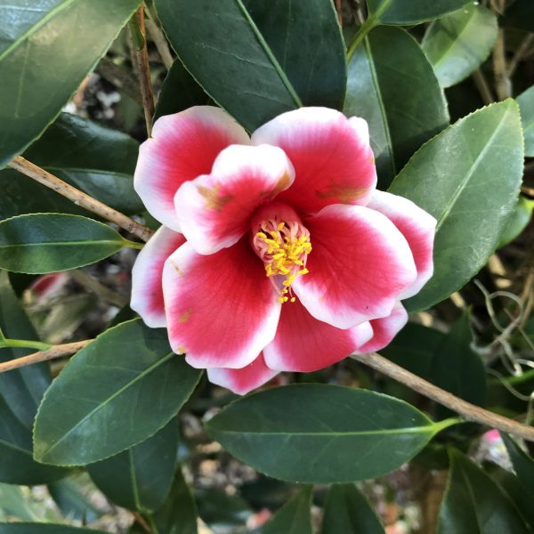 Red and white camellia