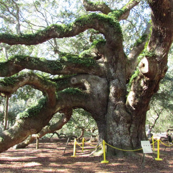 Trunk and limbs of live oak