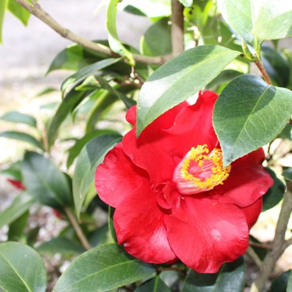 Dark red camellia