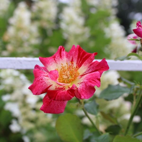 Deleware Park Rose Garden