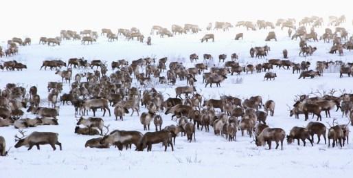 reindeer_herd