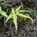 Dichotomy Forked Fern (Dicranopteris pedata)