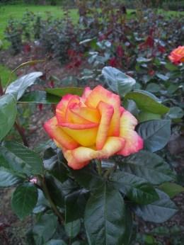 Yellow-pink rose, Cork Ireland Fitzgerald Park