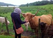 scotland-highlands-feeding-a-hairy-coo