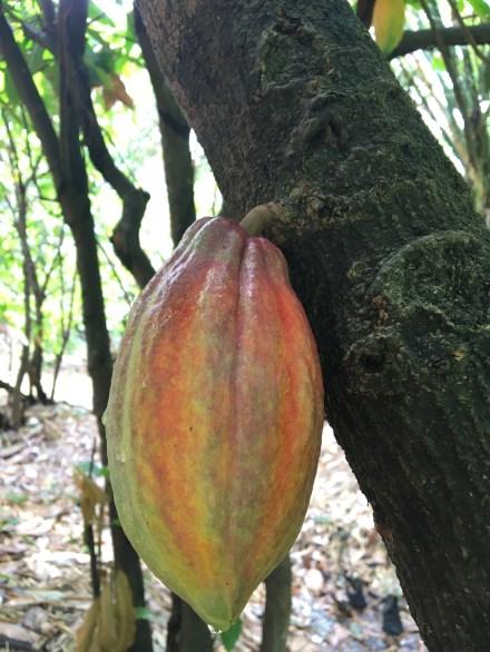 a Beautiful multi-coloured cacao pod