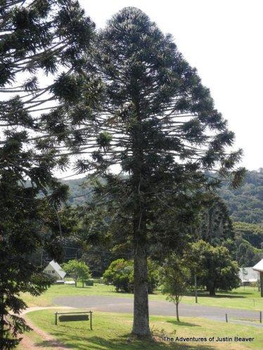 an ancient bunya pine