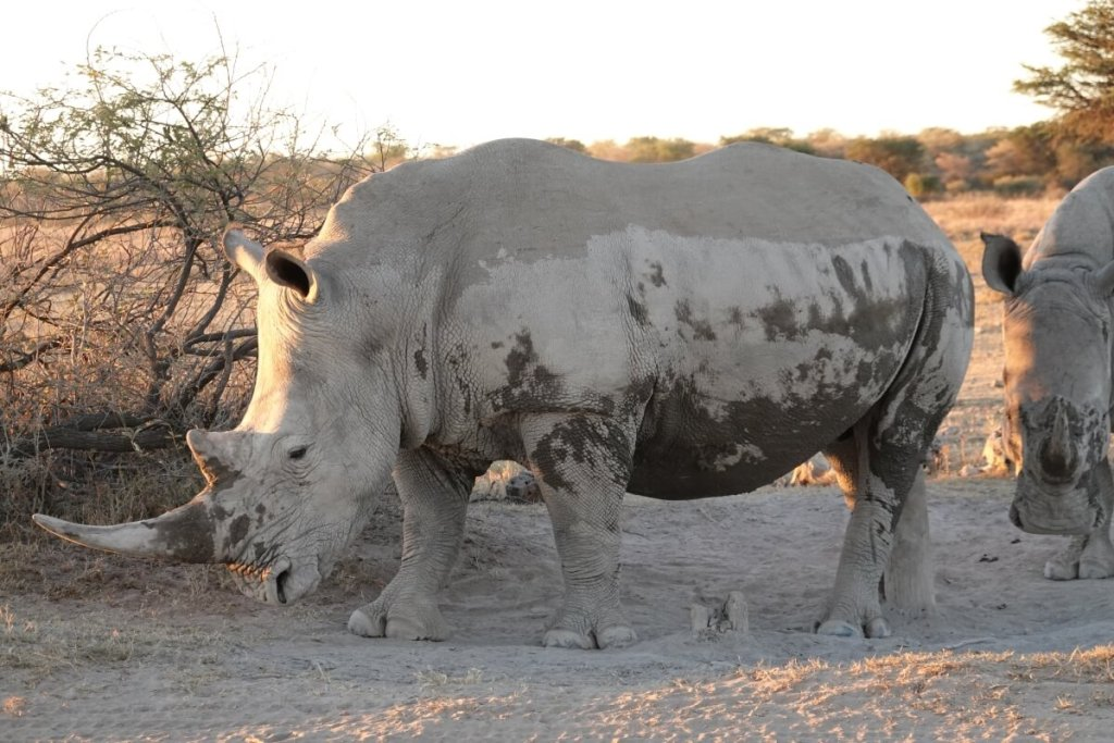 rhino, one of the big five animals to see while camping in botswana