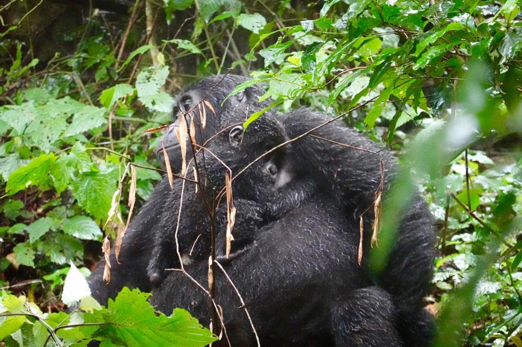 gorrilla trekking in uganda