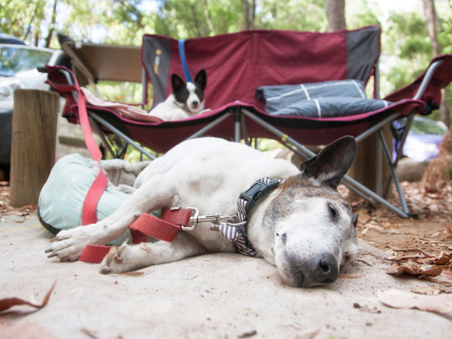 Keeping your dog on a leash at all times is one of the best tips for camping with dogs