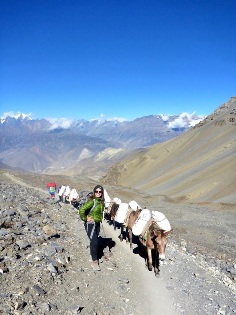 Mules going up Thorong La Pass Annapurna Circuit Nepal