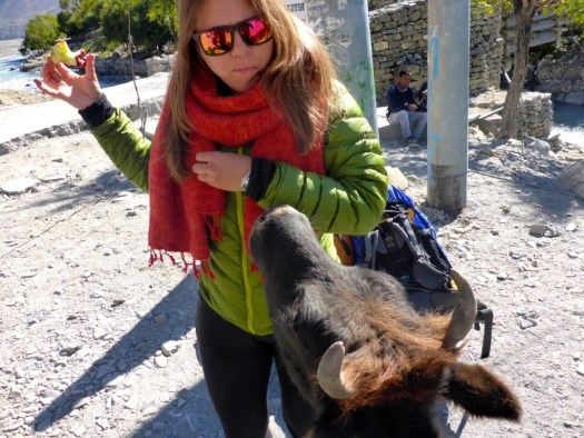 Even the cows were a little aggressive in Jomsom!