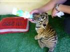 Tiger Kingdom - Chiang Mai, Thailand