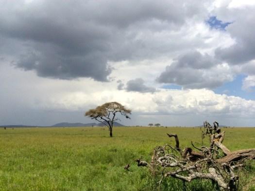 Lion Cub Serengeti National Park, Tanzania