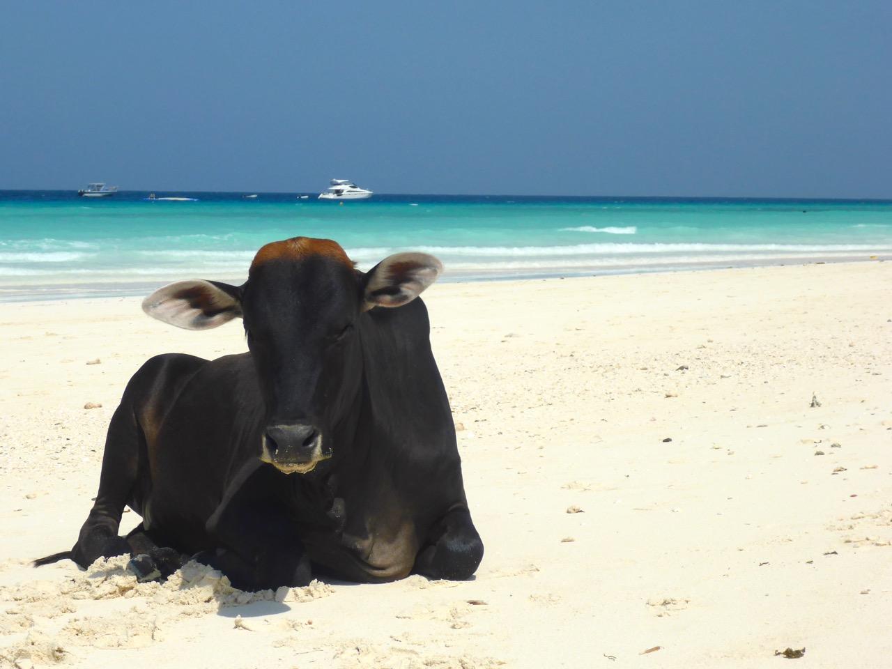 Cow on Nungwi Beach, Zanzibar