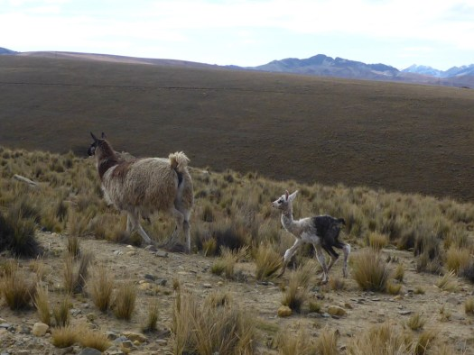 Llamas on the way to Huayna Potosí