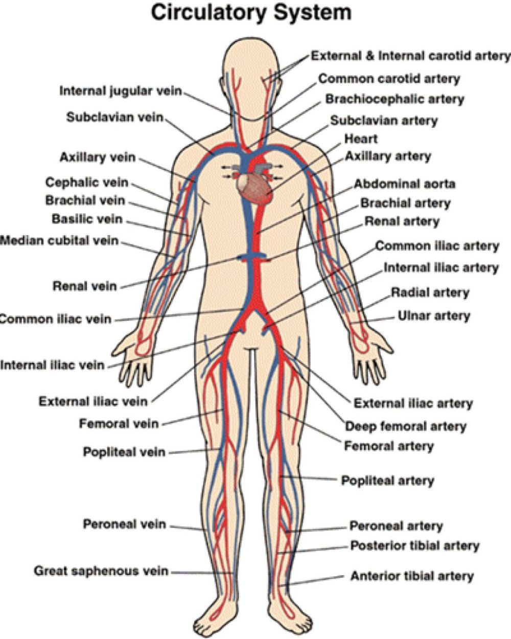 medium resolution of circulatory and respiratory structure and function