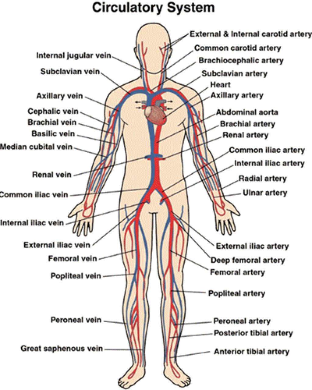 hight resolution of circulatory and respiratory structure and function