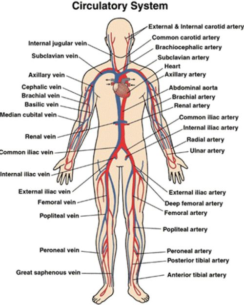 small resolution of circulatory and respiratory structure and function