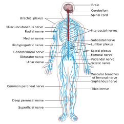 Central Nervous System Labeled Diagram Electric Wheelchair Wiring Anatomy And Physiology Understanding The