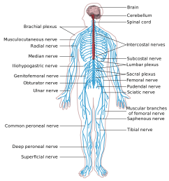anatomy and physiology understanding the nervous system body nervous system function nervous system body diagram enlarge 4 times [ 2000 x 1984 Pixel ]