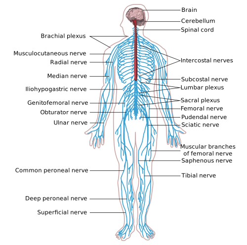 small resolution of anatomy and physiology understanding the nervous system body nervous system function nervous system body diagram enlarge 4 times