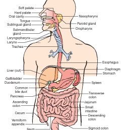 anatomy and physiology understanding the digestive system [ 1265 x 1514 Pixel ]