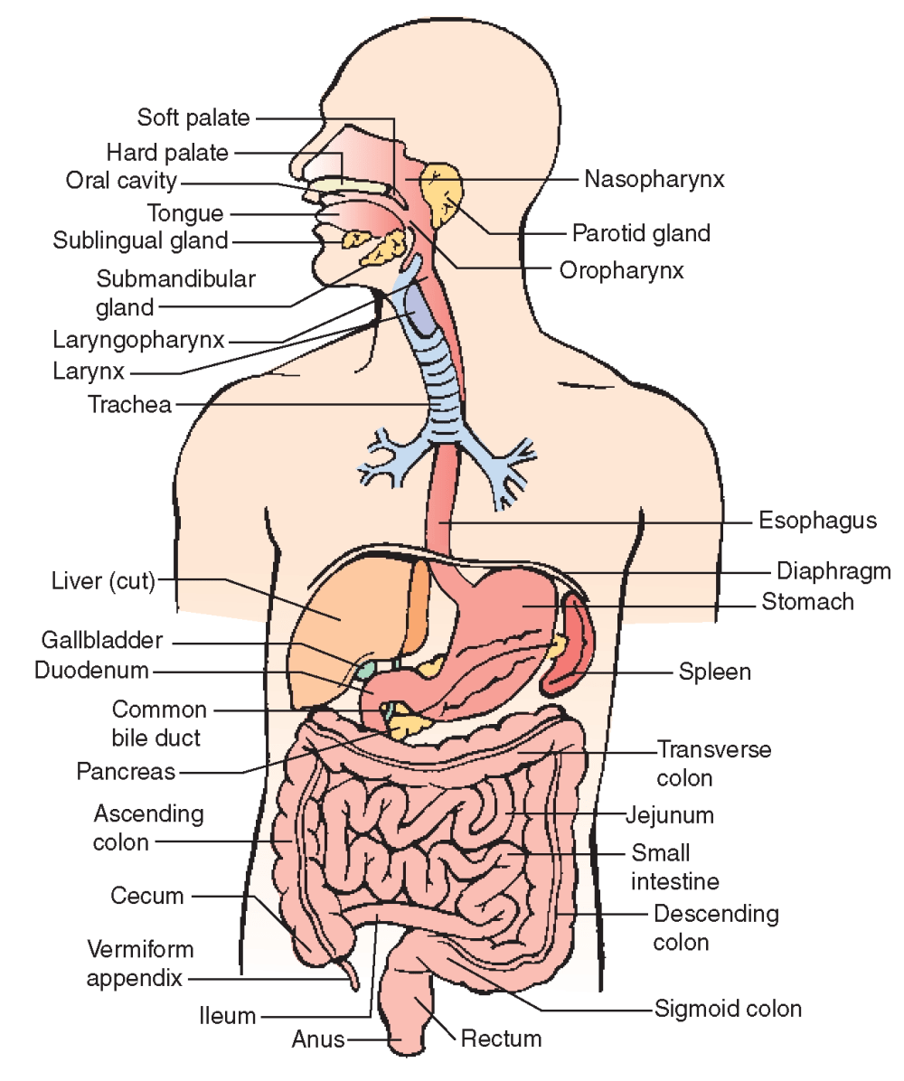 medium resolution of anatomy and physiology understanding the digestive system