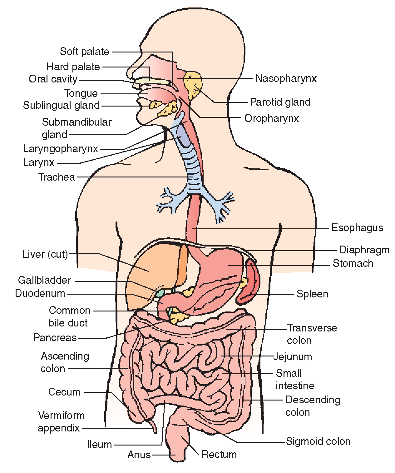 hight resolution of anatomy and physiology understanding the digestive system