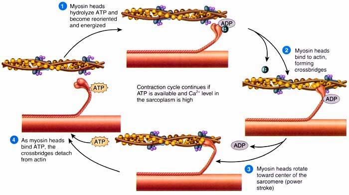 The Sliding Filament Theory Of Muscle Contraction The A Level