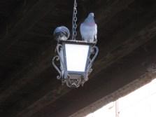 Pigeon street life!