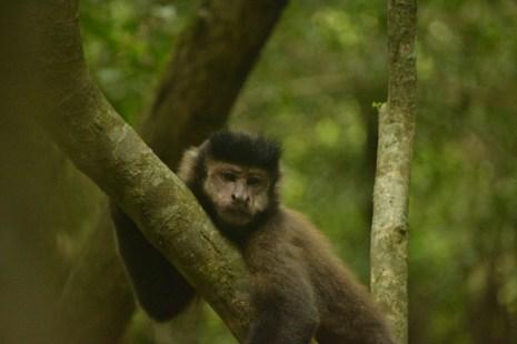Monkeys at Iguazu Falls