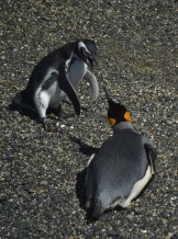 King Penguin on the Beagle Channel