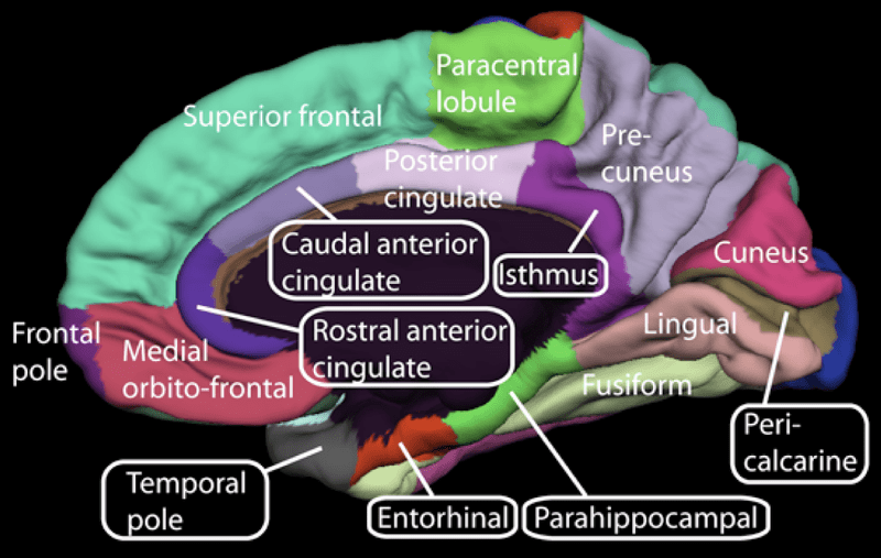 real number system diagram small office network setup brodmann areas – part 3: area 25. the anterior cingulate cortex a brief literature review ...