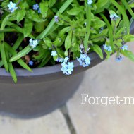 Ana Snapshot : Forget-me-not