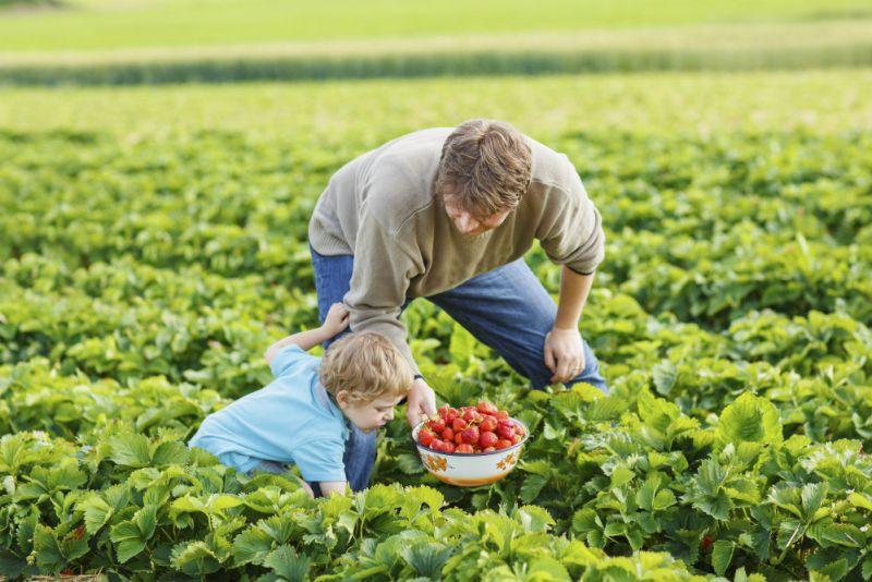 Strawberry picking Money saving ideas