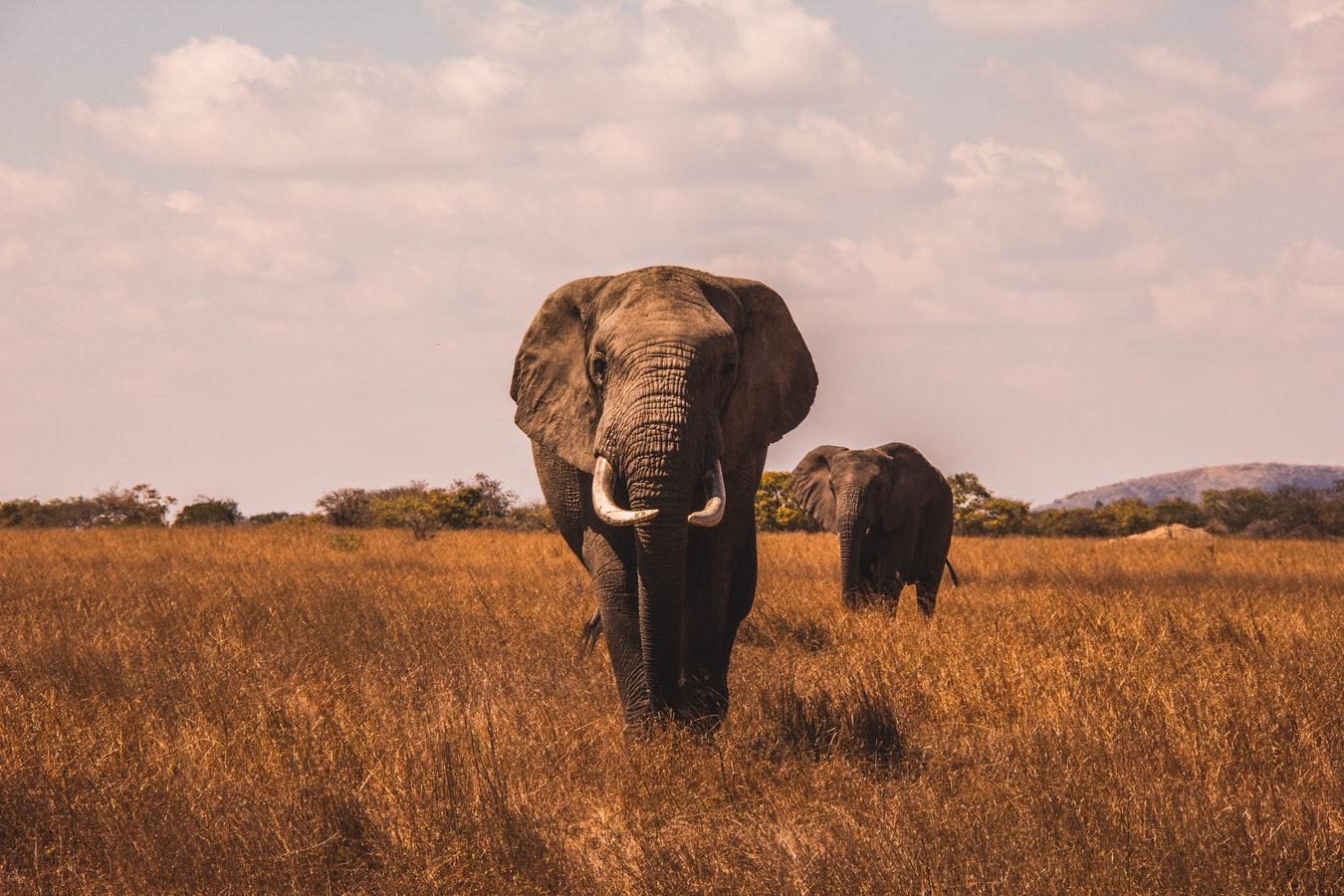 elephant on a safari