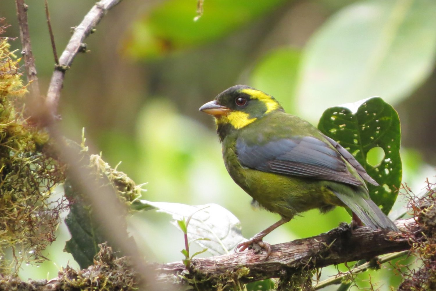Gold ringed tanager female